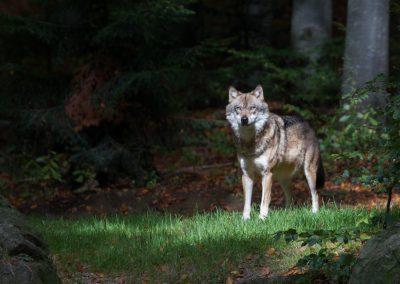 Wolf_III_Neuschönau_Horst