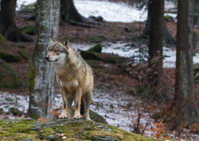 Wolf_Neuschönau_Horst