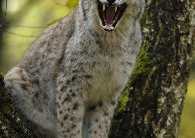 AT_Luchs_02