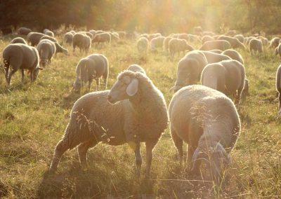 Schafherde im Gegenlicht