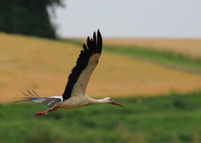 Storch Flug