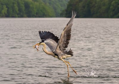 BW-Feldberger Seenlandschaft-Graureiher mit Fisch_B0A1443